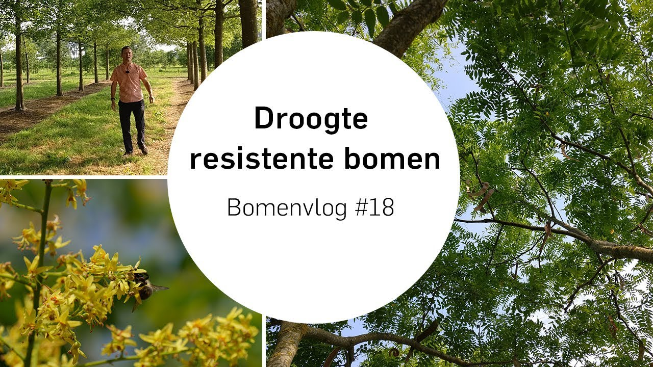Goede Welke bomen kunnen goed tegen de droogte? | Bomenvlog #18 - YouTube FQ-45