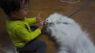 正しくは2歳6ヶ月の日本スピッツと1歳11ヶ月の幼児です。 遊びに来た甥...
