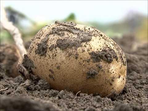 Вот так сажают картошку в Беларуси. - YouTube