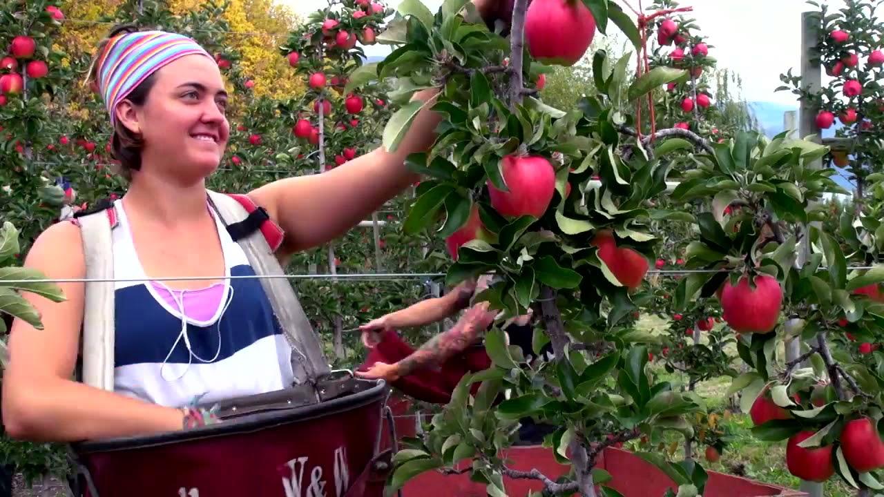 История сорта яблок Амброзия (Канада)