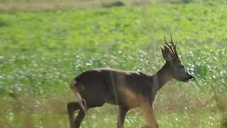 Sarny ( roe deer ) 2