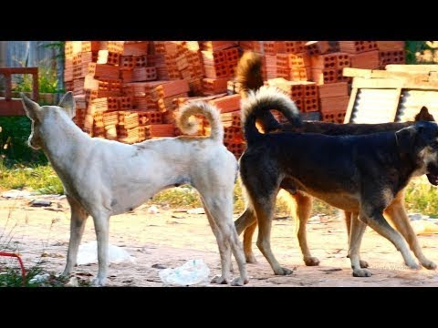 RuralDogs!! Group Dogs make sweet love With Cambodia Akita Female Dog In Middle Village