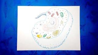 Biologia Celular 5/5 - Cómo dibujar una célula animal con colores paso a paso