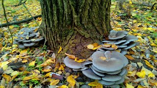Gambar cover Сбор грибов - гриб вешенка