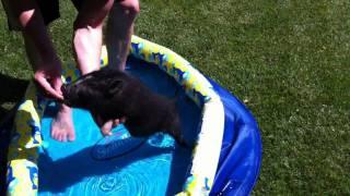 Teacup pig in kiddie pool at Chivas Skin Care farm