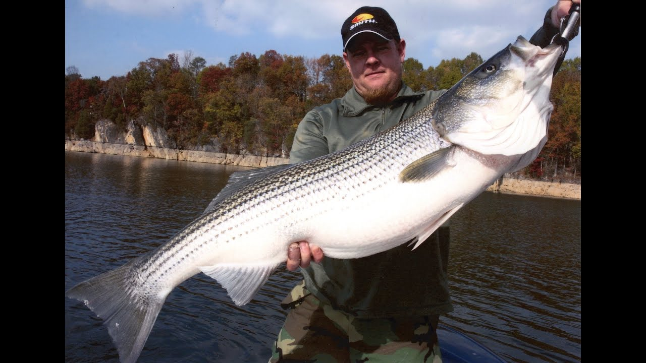 big freshwater stripers umbrella rigs and live bait for