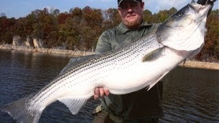 BIG Freshwater STRIPERS, Umbrella rigs AND live bait for Striped bass, Team Old School .