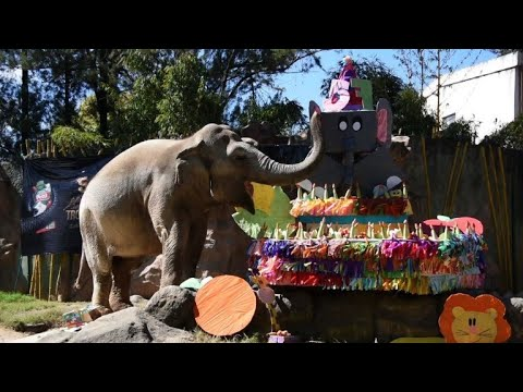 Trompita the elephant celebrates 57th birthday at Guatemala zoo