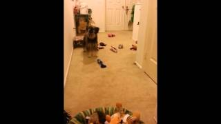 Miniature Schnauzer Knows Each Of His Toys (40+) By Name 雪納瑞照媽媽點名的順序收玩具