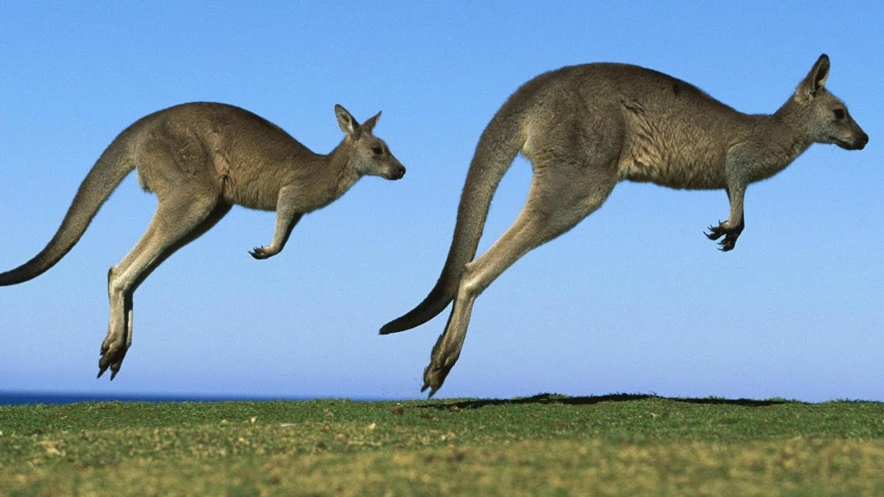 the kangaroo had to have hopped into existence