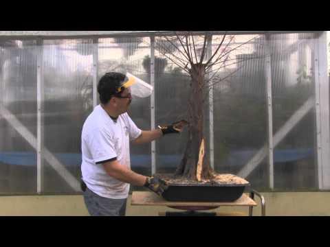 Bald Cypress Bonsai - Year 2 - Carving