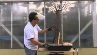 Bald Cypress Bonsai - Year 2 - Carving