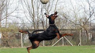 В футбол играют настоящие собаки