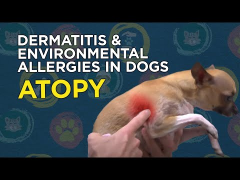 Learn About Dermatitis & Environmental Allergies In Dogs (Atopy)