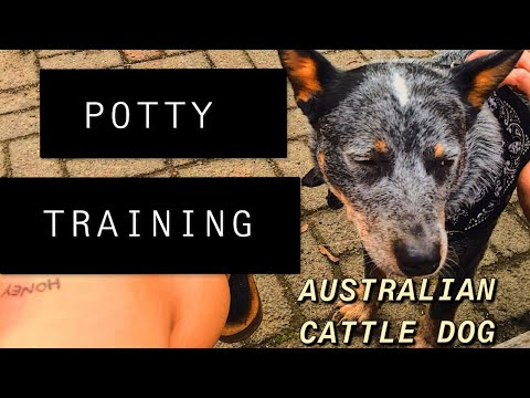 POTTY TRAINING TIPS | Australian Cattle Dog/Blue Heeler