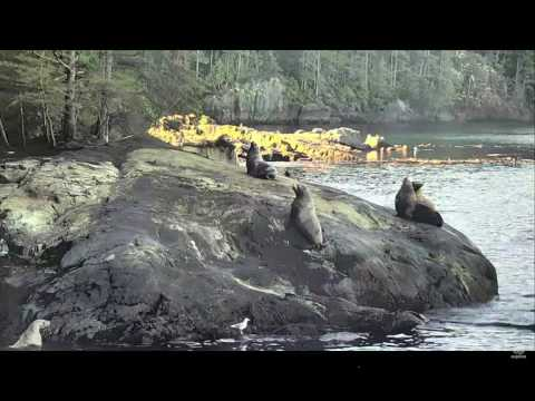 Steller Sea Lions: a turf fight at Blackney Pass