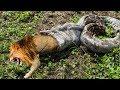 Epic Battle Of Big Cat Vs Giant Anaconda, Big Cat Can't Escape of Giant Anaconda