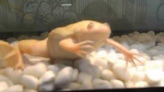 черепашка и белая лягушка