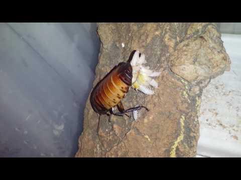 Мадагаскарстий таракан рожает