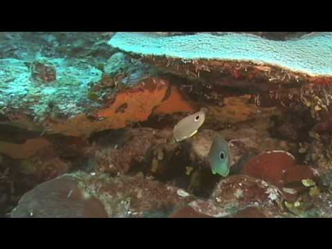 Caribbean Fish : Four-Eyed Butterfly Fish Identification
