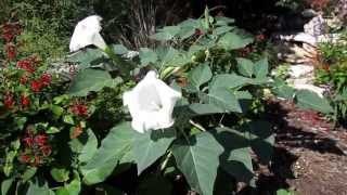 Moonflower Datura, Lisa