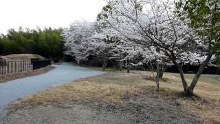 野田院古墳と桜