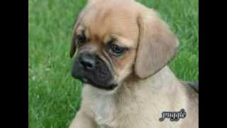Puggle Puppies For Sale In Pa