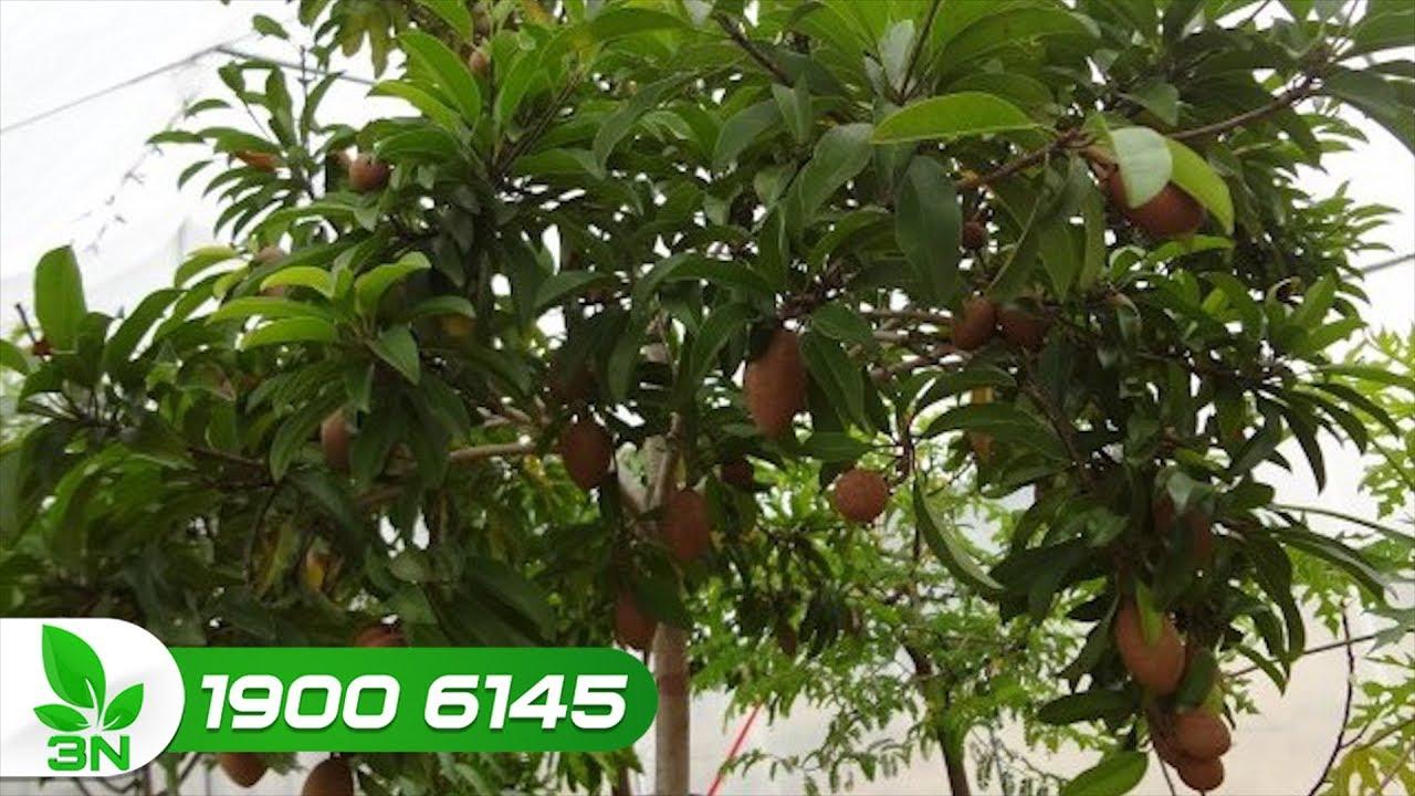 Khắc phục hồng xiêm ra nhiều hoa nhưng đậu ít quả | VTC16