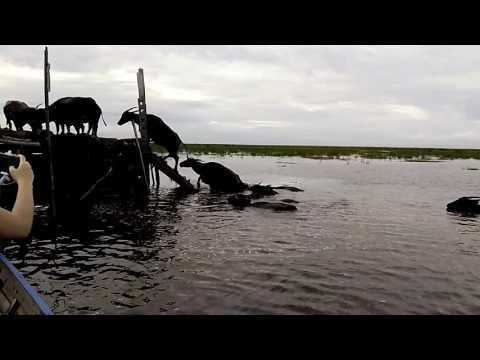 visit indonesia - kerbau rawa (swamp buffalo) - danau panggang, amuntai