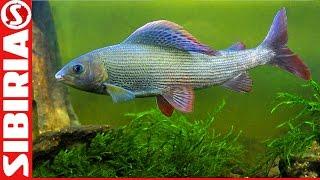 Ловля хариуса на Енисее на покаток (балда) Рыбалка на мушки и кембрики. Прогулка по лесу