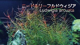 #33.ニードルリーフ・ルドウィジア CO2がいらない?!赤系の美しい水草(Ludwigia arcuata - Beautiful aquarium plants)