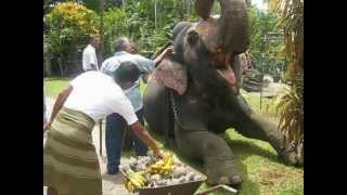 Rajah the Elephants Sinhalese New Year in  SRILANKA