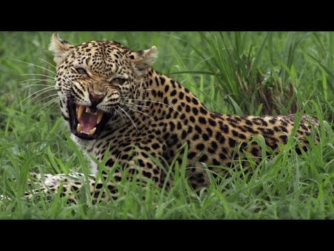 Leopard Mother Fights her own Daughter   BBC Earth