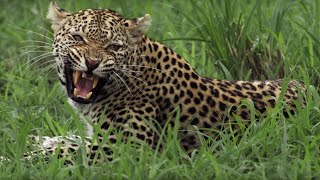 Leopard Mother Fights her own Daughter | BBC Earth