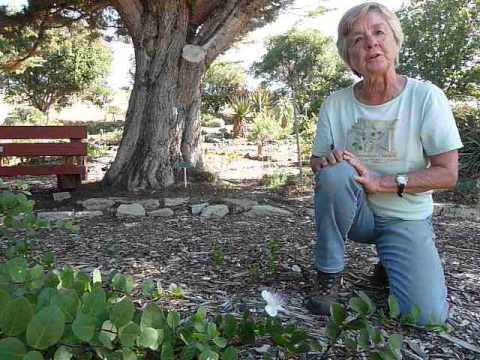 Caper bush - Capparis spinosa