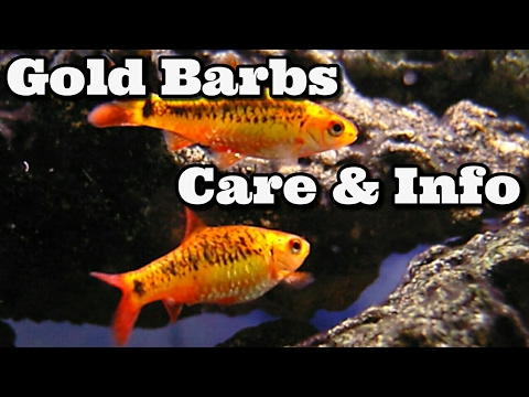 Gold Barb Care And Information   Golden Barbs