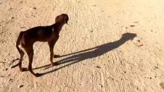 Собака - рахит Куба 2014