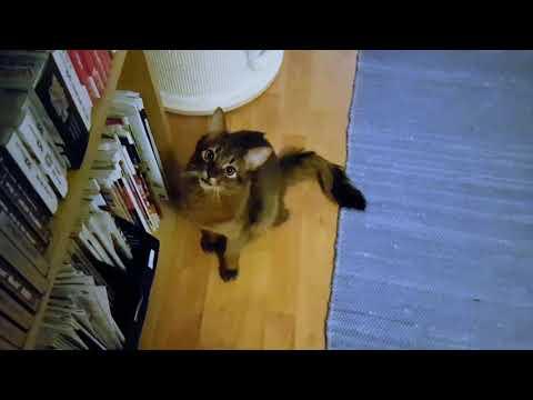 Somali kitten's supercute voice