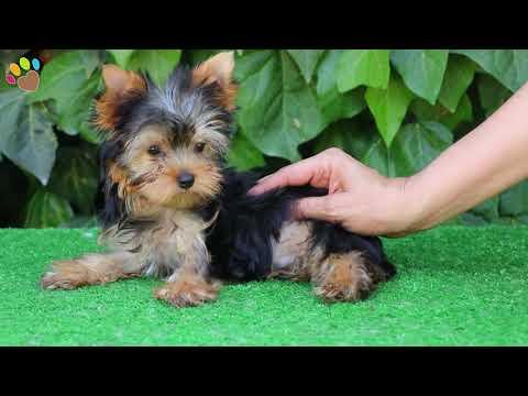 yorkshire-terrier-yavrumuz-yorgi