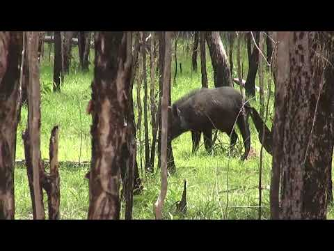 Wild Boar Hunting With Dogs In Cape York, Australia With Whippets And A .3030