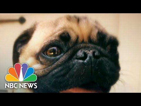 Pug In North Carolina Tests Positive For Coronavirus, May Be First Dog In U.S. | NBC Nightly News