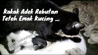 Funny Cat Kucing Besar Nyusu Induknya