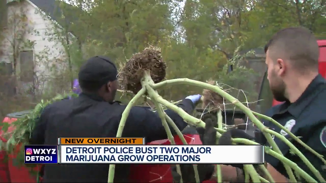 Detroit police bust two major marijuana grow operations