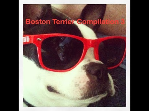 Boston Terrier Compilation 3