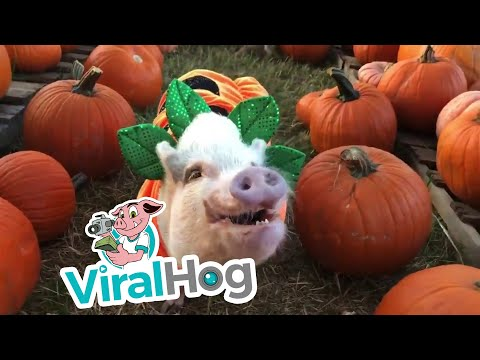 Randy McCarten - Costumed Pigs In a Pumpkin Patch