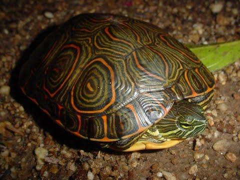 Tortugas pavoreal TRACHEMYS SCRIPTA VENUSTO DE 25 AÑOS