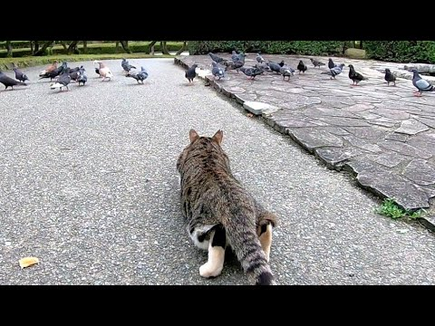 stray-cats-aiming-for-a-flock-of-pigeons-that-are-crazy-about-feeding