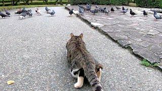 餌に夢中な鳩の群れを忍び足で狙う野良猫が面白い