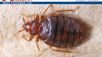 Bed Bug Pest Control Middletown NY American Pest Control 845-344-3288