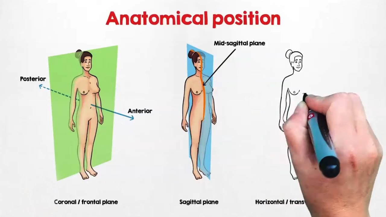 Anatomical Planes and Directional Terms UNSW - YouTube